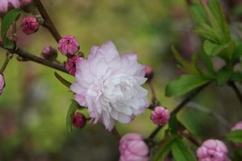 庭桜.JPG